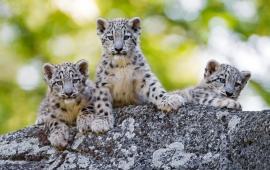 Cuties Snow Leopard