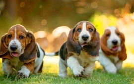 Dachshund Puppies Walk