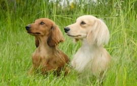 Dachshunds Sitting In Field