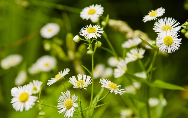 Daisies Flowers And Grass (click to view)