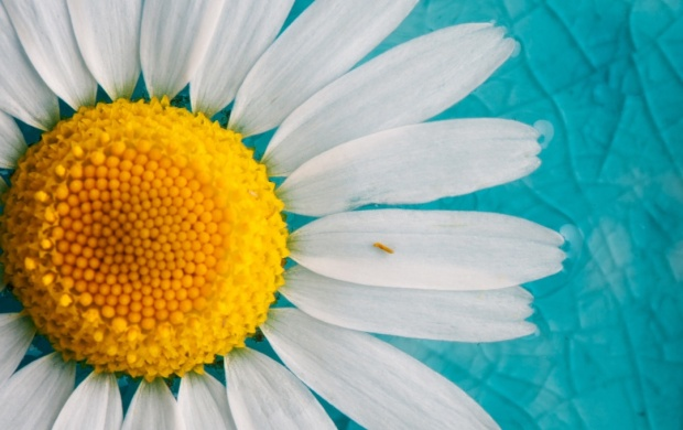 Daisies Petals Flowers Background (click to view)