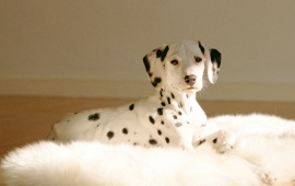 Dalmatians Really Cute Puppies