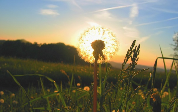 Dandelion In The Sun (click to view)
