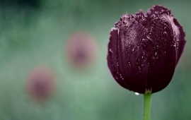 Dark Purple Tulip