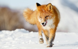 Dashing Winter Fox