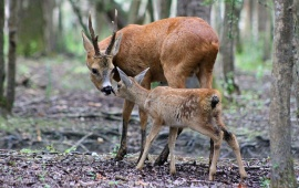 Deer And Baby Tenderness