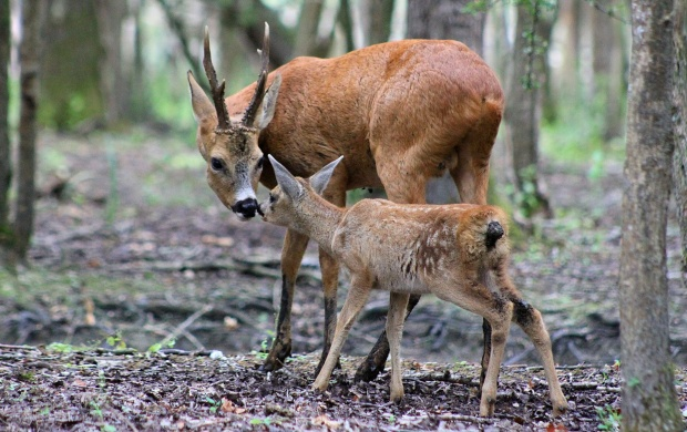Deer And Baby Tenderness (click to view)