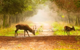 Deer Footpath Fog Nature