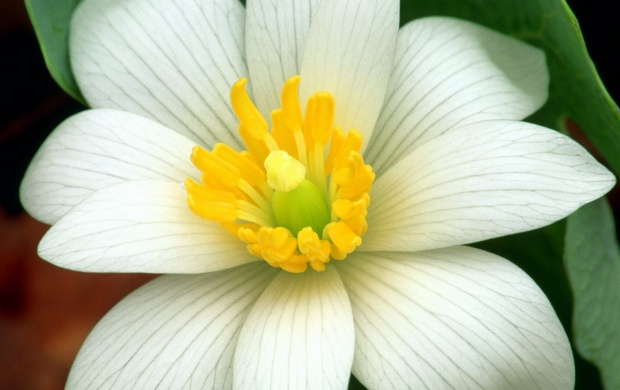 Delicate Bloodroot (click to view)