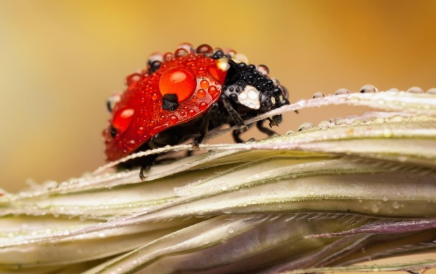 Dew Drops On Ladybug (click to view)