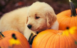 Dog And Pumpkin