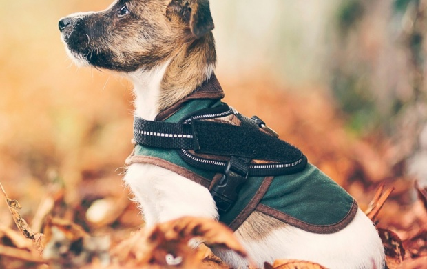 Dog Autumn Leaves (click to view)
