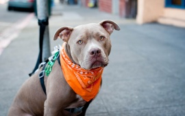 Dog In Orange Scarf