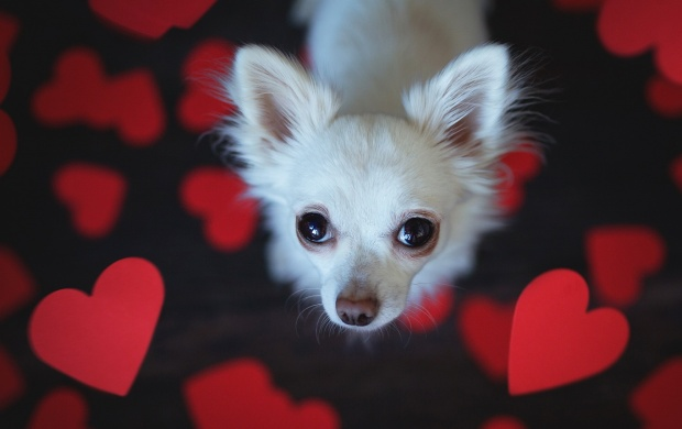 Dog Look Heart (click to view)