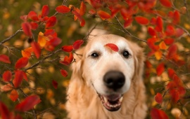Dog Look Red Leaves