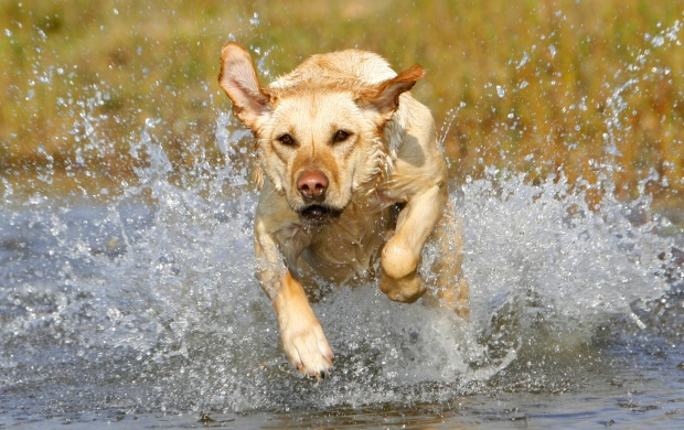 Dog Running In Water (click to view)