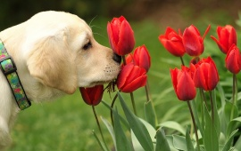 Dog Sniffing Tulips Flowers