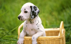 Dogs Dalmatians In The Basket