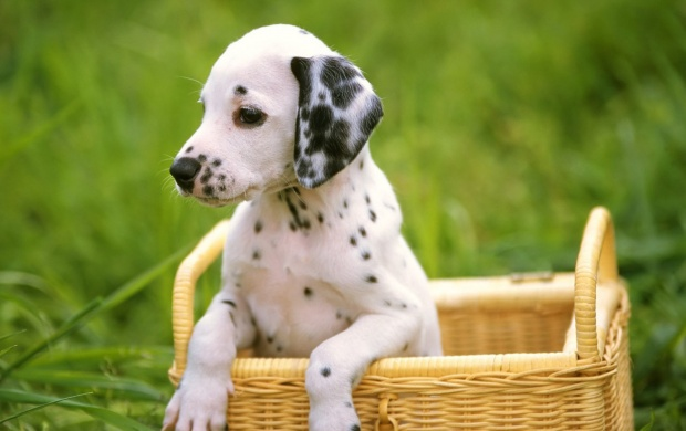Dogs Dalmatians In The Basket (click to view)