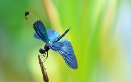 Dragonfly Blue Wings