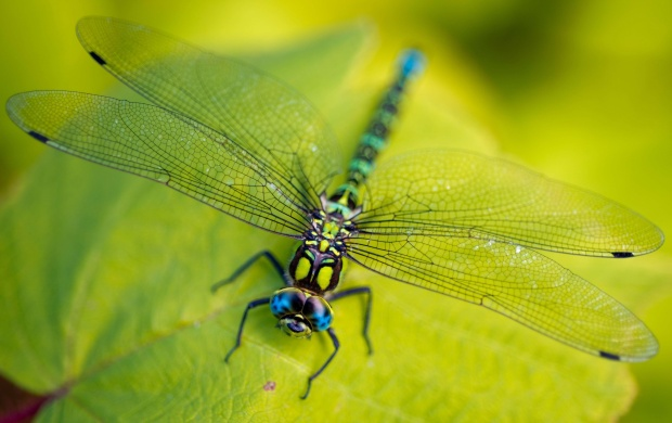 Dragonfly Head (click to view)