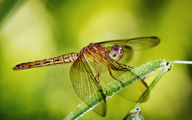 Dragonfly Insect (click to view)