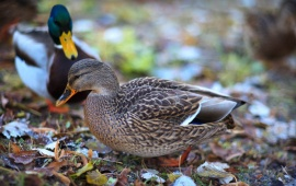 Duck Cute Couple