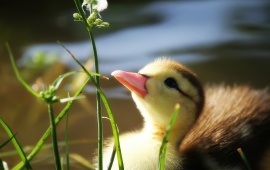 Duckling And Flower
