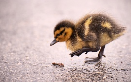 Duckling And Rain