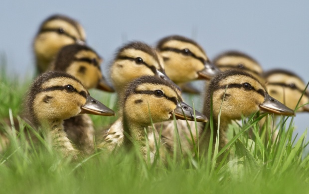 Ducks Brood (click to view)