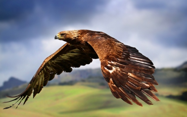 Eagle In Flight (click to view)