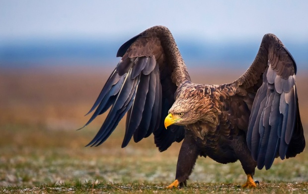 Eagle Wings (click to view)