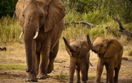 Elephant And Little Cubs
