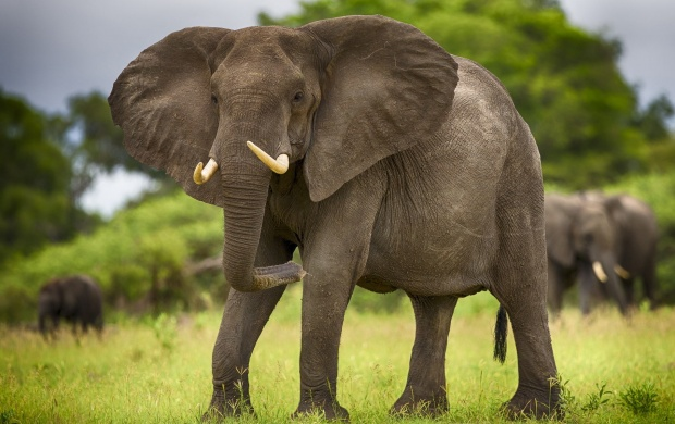 Elephant Beautiful Tusks (click to view)