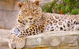 Female Leopard Rests On The Stone
