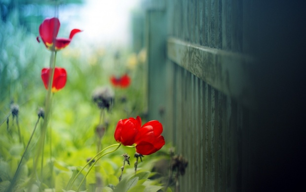 Fence Flowers Red Tulips (click to view)