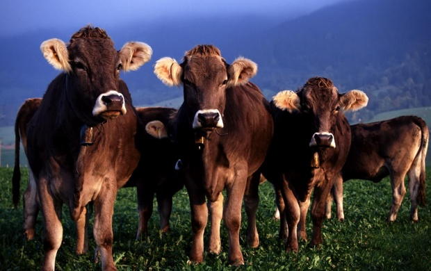 Few Cows At Pasture (click to view)