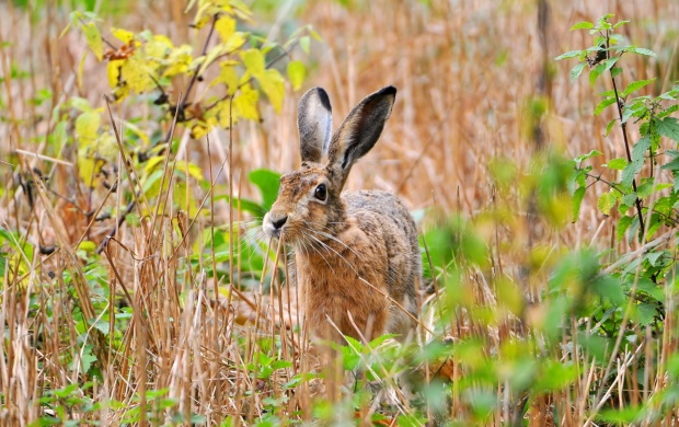 Field In Hare Summer (click to view)