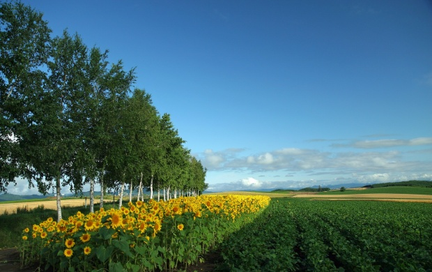 Field of Sunflowers (click to view)