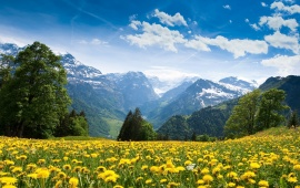 Field Of Yellow Flowers In The Mountains