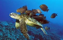 Fish Feeding on Turtle Back