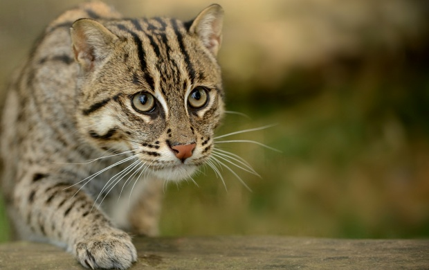 Fishing Cat (click to view)