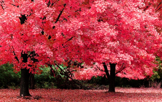 Flaming Maple (click to view)