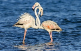 Flamingo Couple At Ripples