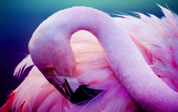 Flamingo Pink Neck (click to view)