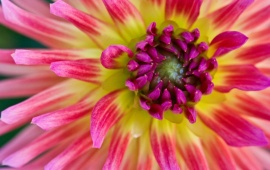 Flower Dahlia Close Up