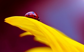 Flower Yellow Petals Insect Ladybug