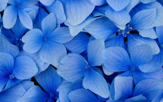Flowers With Blue Petals (click to view)