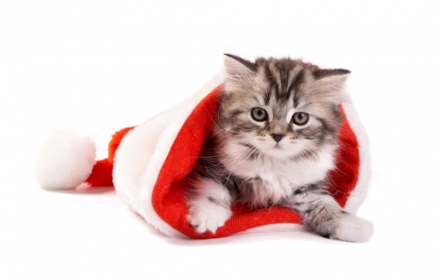 Fluffy Cat In Santa Hat (click to view)