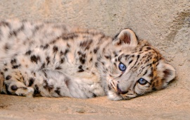 Fluffy Snow Leopard Kitten Is Looks